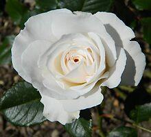 White Rose At Tonbridge Castle by NatureLover2013