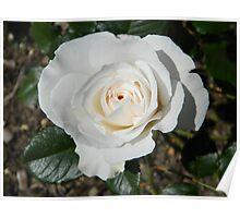 White Rose At Tonbridge Castle Poster
