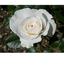 White Rose At Tonbridge Castle Photographic Print