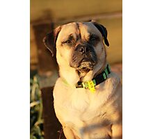 Puggy Photographic Print
