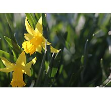 Daffodils in the sun and grass Photographic Print