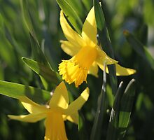 Daffodils in the sun and grass by Harald Ole Hansen