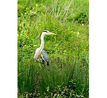 Great blue heron in nature reserve Bourgoyen  Photographic Print