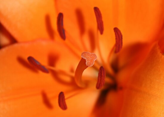 Orange Lily by AnnDixon
