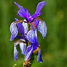 Iris Sibirica Pillow II by SmoothBreeze7