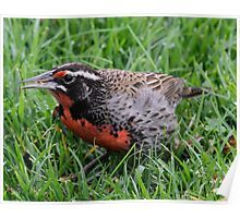 Long-tailed Meadowlark Poster
