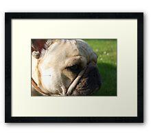 French bulldog  Framed Print