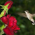 Hummingbird with Rose by Janice Carter