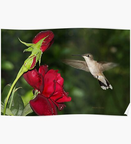 Hummingbird with Rose Poster