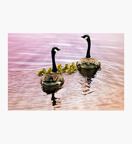 Going Home for the Night (Canada Geese) Photographic Print