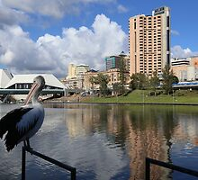 The Pelican Mayor of Adelaide by Stuart Daddow Photography