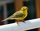 Male Prairie Warbler (Dendroica discolor) by Yannik Hay