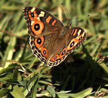 Butterfly in my garden by myraj