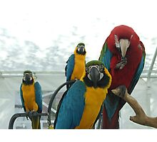 A gang of macaws Photographic Print