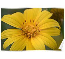 yellow daisy flower Poster