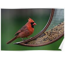 Cardinal At The Feeder Poster