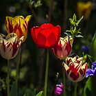Pretty Tulip Flowers by Pixie Copley LRPS