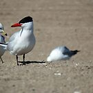 Caspian Tern by sternbergimages
