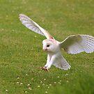 snowy owl by Waggywag