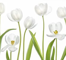 White Tulips by Mandy Disher
