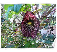 Dutchmans Pipe Vine Flower Poster