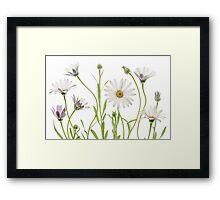 Cape Daisies Framed Print