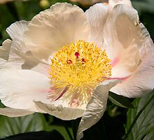Beauty Of A Peony  by daphsam