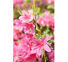 Rhododendron flower close up Photographic Print