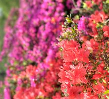 Rhododendron flowers in bloom by thommoore