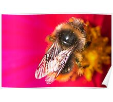 Bee on a pink flower Poster