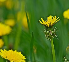 Dandelion 1 by Carolyn Clark