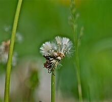 Dandelion 4 by Carolyn Clark