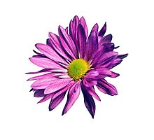 Purple daisy Photographic Print