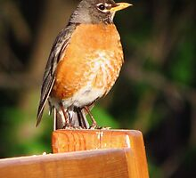 Robin on a Bench by lorilee