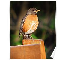 Robin on a Bench Poster