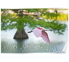 Roseate Spoonbill Flying over Cypress Lake Poster