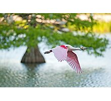 Roseate Spoonbill Flying over Cypress Lake Photographic Print