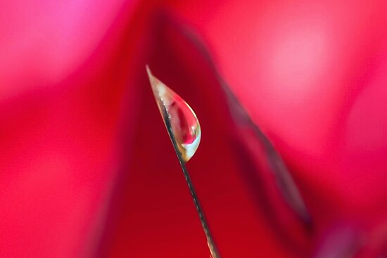 Fire in the Rose by Kenneth Haley