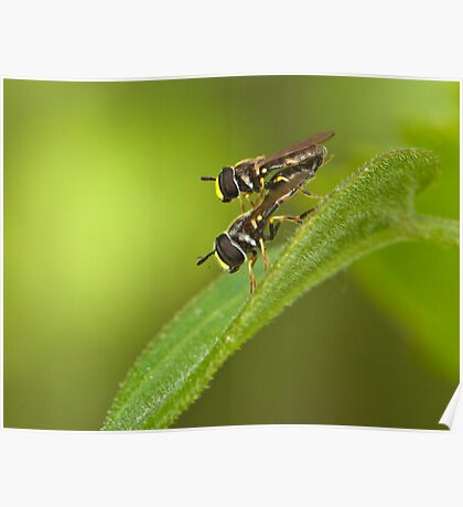 hoverfly couple Poster