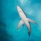 Blue Shark from below, South Africa by Erik Schlogl