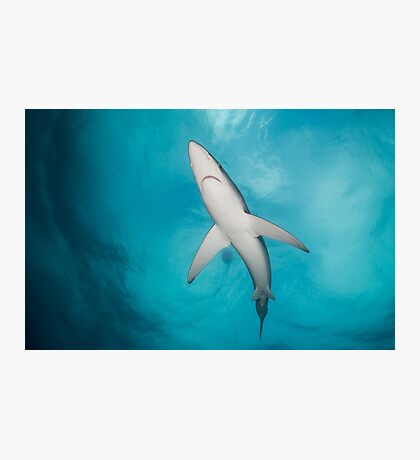Blue Shark from below, South Africa Photographic Print