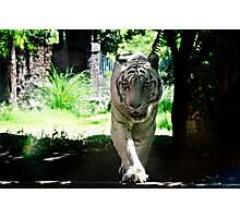 Sumatran White Tiger Photographic Print
