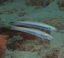 Threadfin Dartfishes by Mark Rosenstein