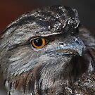 Tawny Frog Mouth study No. 2   - Dimo by john  Lenagan