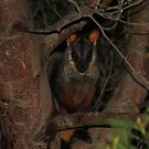 Rock Wallaby  - Mount Rothwell by john  Lenagan