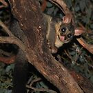 Brush-Tailed Possum  - Mount Rothwell by john  Lenagan