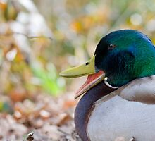 Mallard duck quacking by thommoore