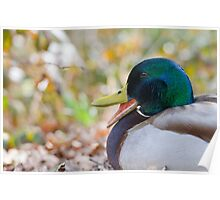 Mallard duck quacking Poster