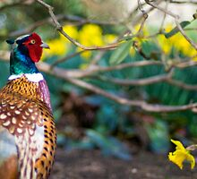 Male pheasant with daffodils by thommoore