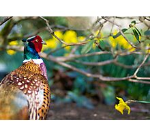 Male pheasant with daffodils Photographic Print
